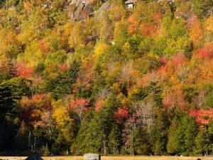 Acadia-Trees-1-48x36