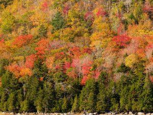 Acadia-Trees-2-48x36