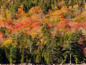 Acadia-Trees-3-48x36