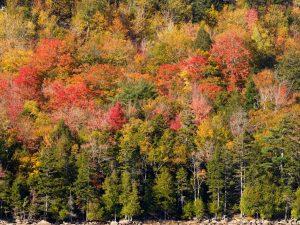 Acadia-Trees-4-48x36