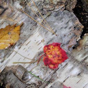Maple-on-Birch-12x12